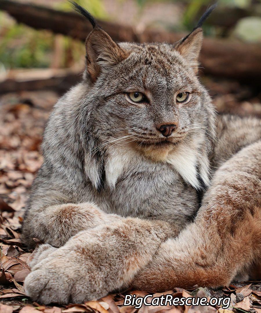 Gilligan the canada lynx at big cat rescue big cats cats