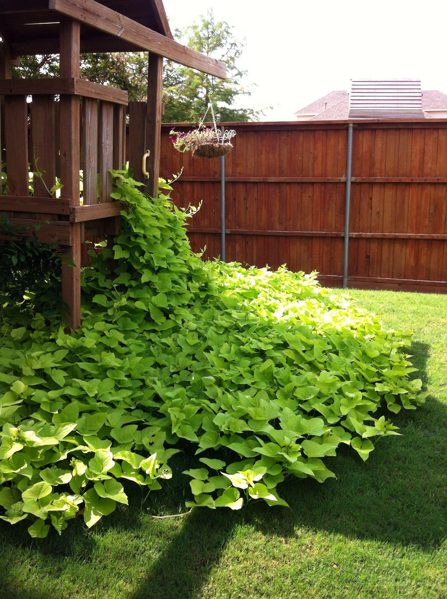 my sweet potato vine on steroids gardening pinterest sweet