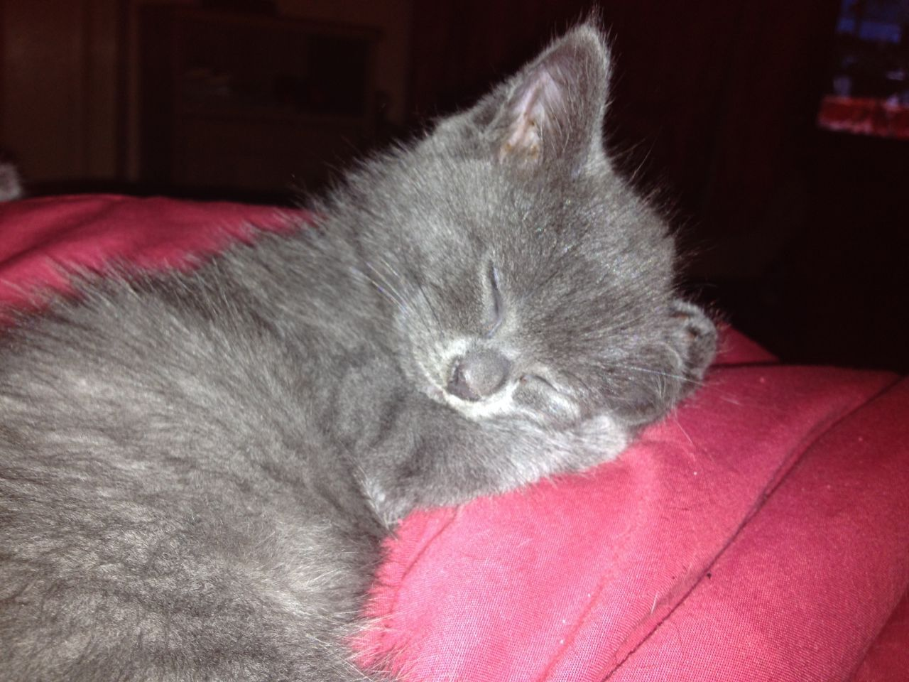 1 Beautiful Long Haired Russian Blue Female Kitten Bedford Bedfordshire Pets4homes Russian Blue Cat Russian Blue Blue Cats