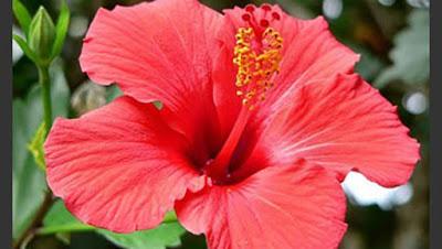 زهرة الكركدية In 2021 Flowers Plants