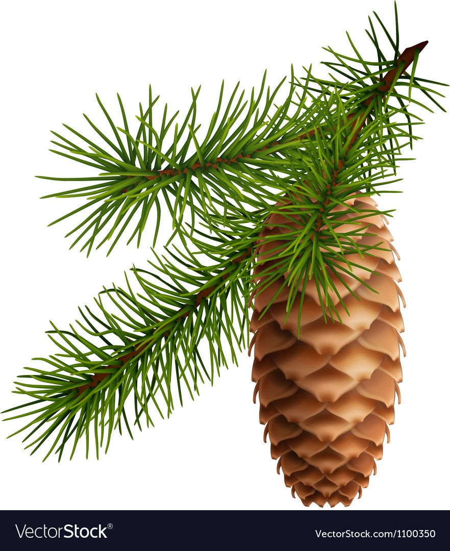 Pine Cone With Branch Vector Image On Vectorstock Pine Tree Art Pine Cones Branch Vector