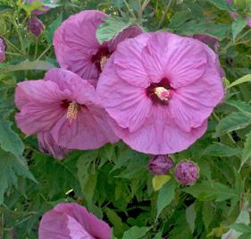 Summerific Berrylicious Rose Mallow Hardy Hibiscus Plant
