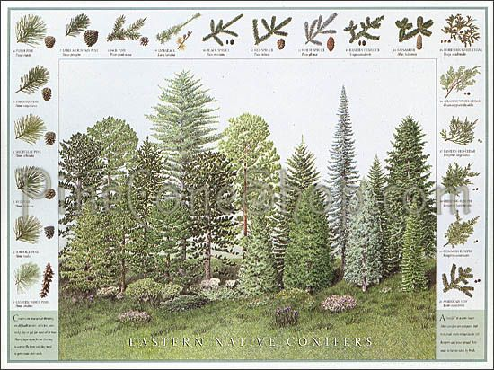 Northeastern native conifers and pinecones id poster printed in northeastern native conifers and pinecones id poster printed in usa on quality recycled process sciox Gallery