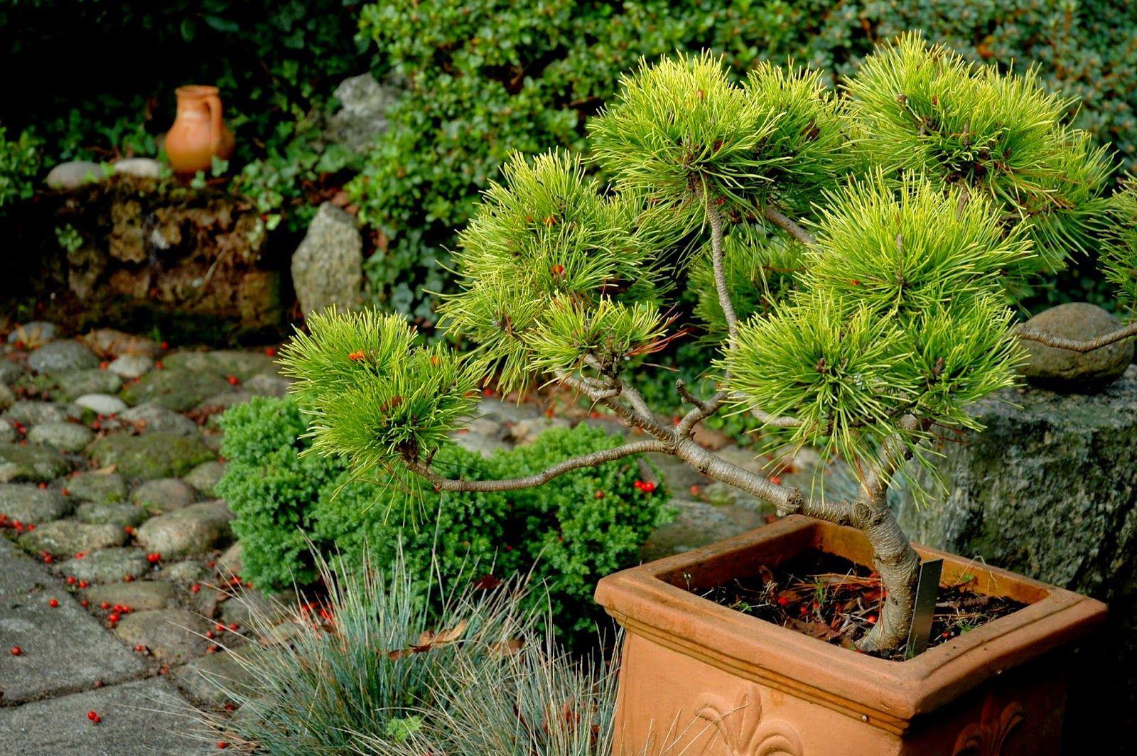 potted pine bonsai
