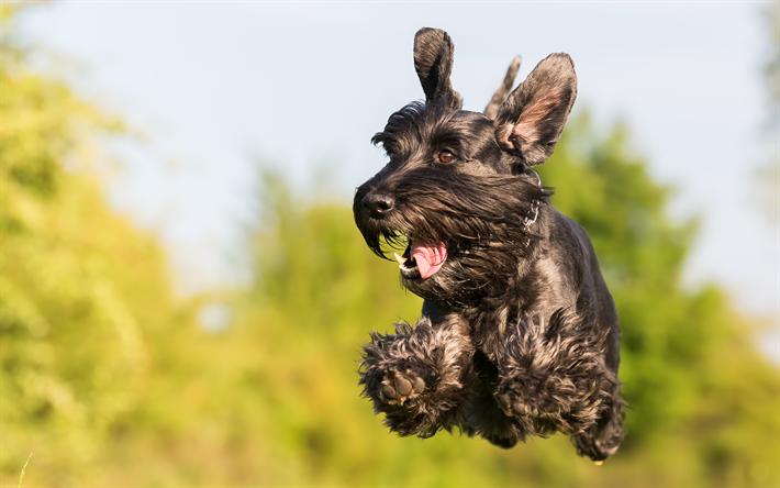 Download Wallpapers 4k Giant Schnauzer Flying Dog Dogs Black Dog Bokeh Schnauzer Pets Giant Schnauzer Dog Besthqwallpapers Com Flying Dog Animal Wallpaper Black Dog