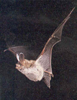 Kidzone Bats With Images Bat Facts Mammals Bat Facts For Kids