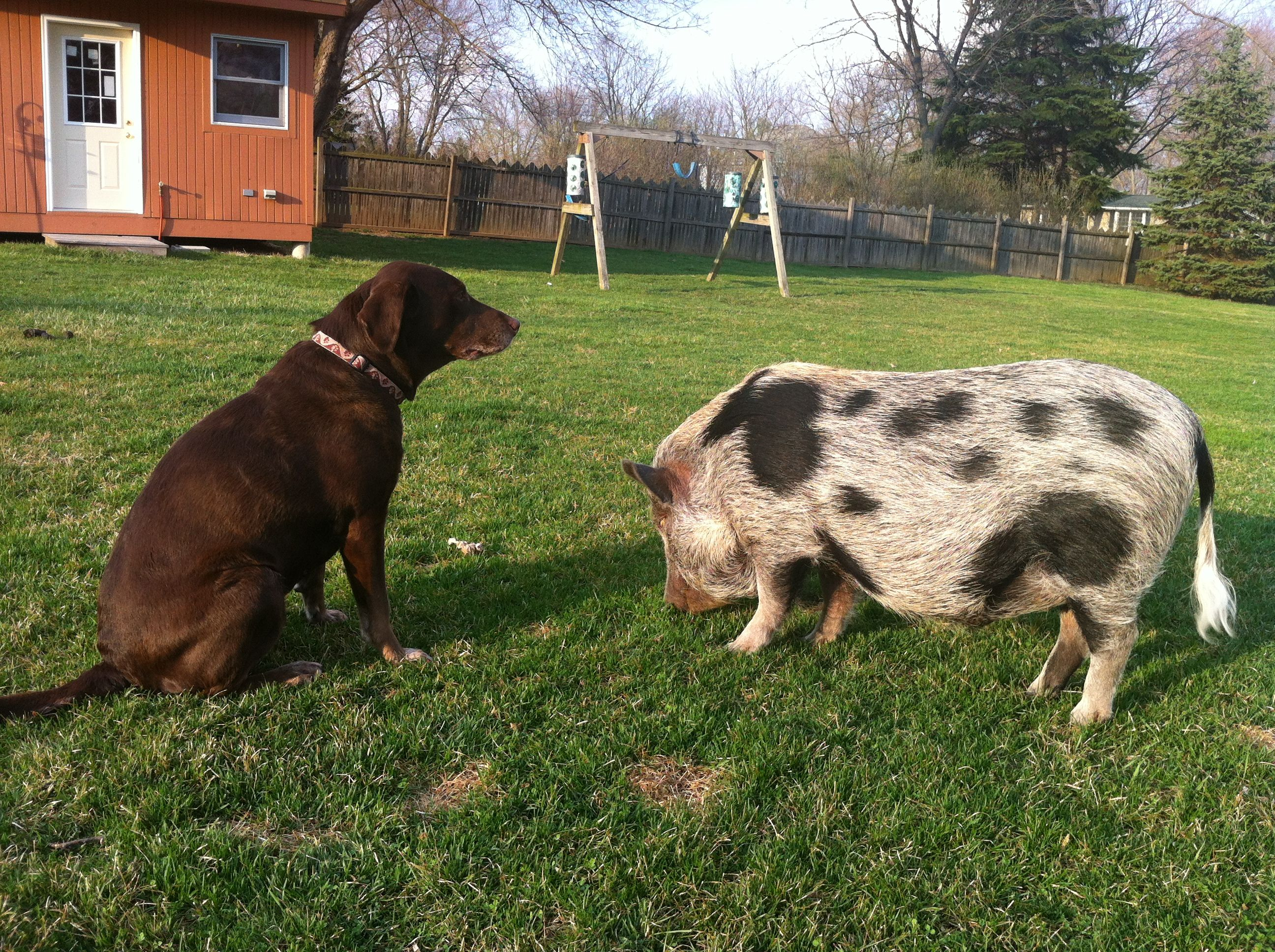 Lucy the Dog that Looks Like a Pig