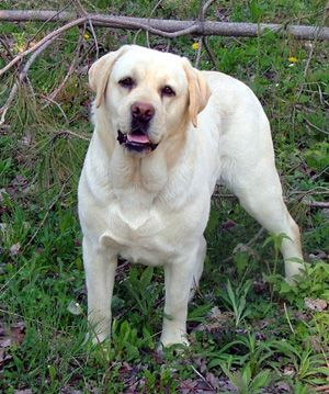 ohio labrador breeders