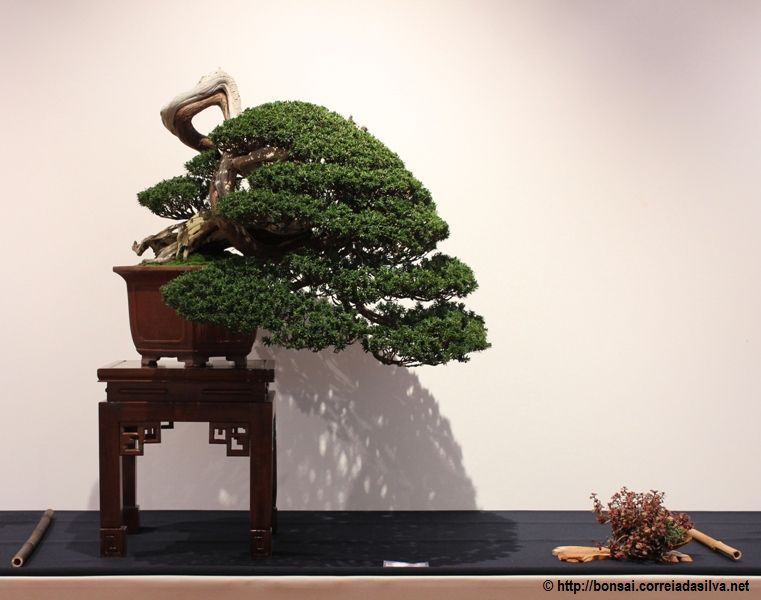 Pin von ramona dee auf bonsai shohin bonsai penjing for Bonsai hydrokultur