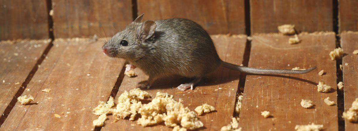 Pest Control Toronto By Pestrgone Also Provide You The Best Mice Control Services With The L Best Pest Control Pest Control Services Bed Bug Extermination