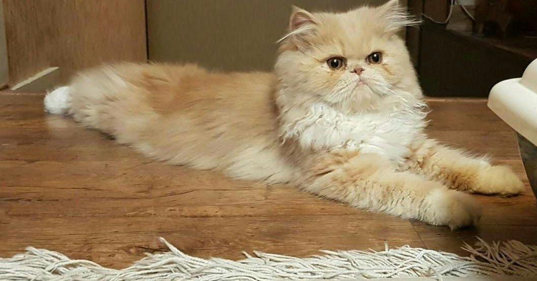Persian Cat In 2020 Munchkin Cat Breeders Norwegian Forest Cat Breeders Cat Breeder