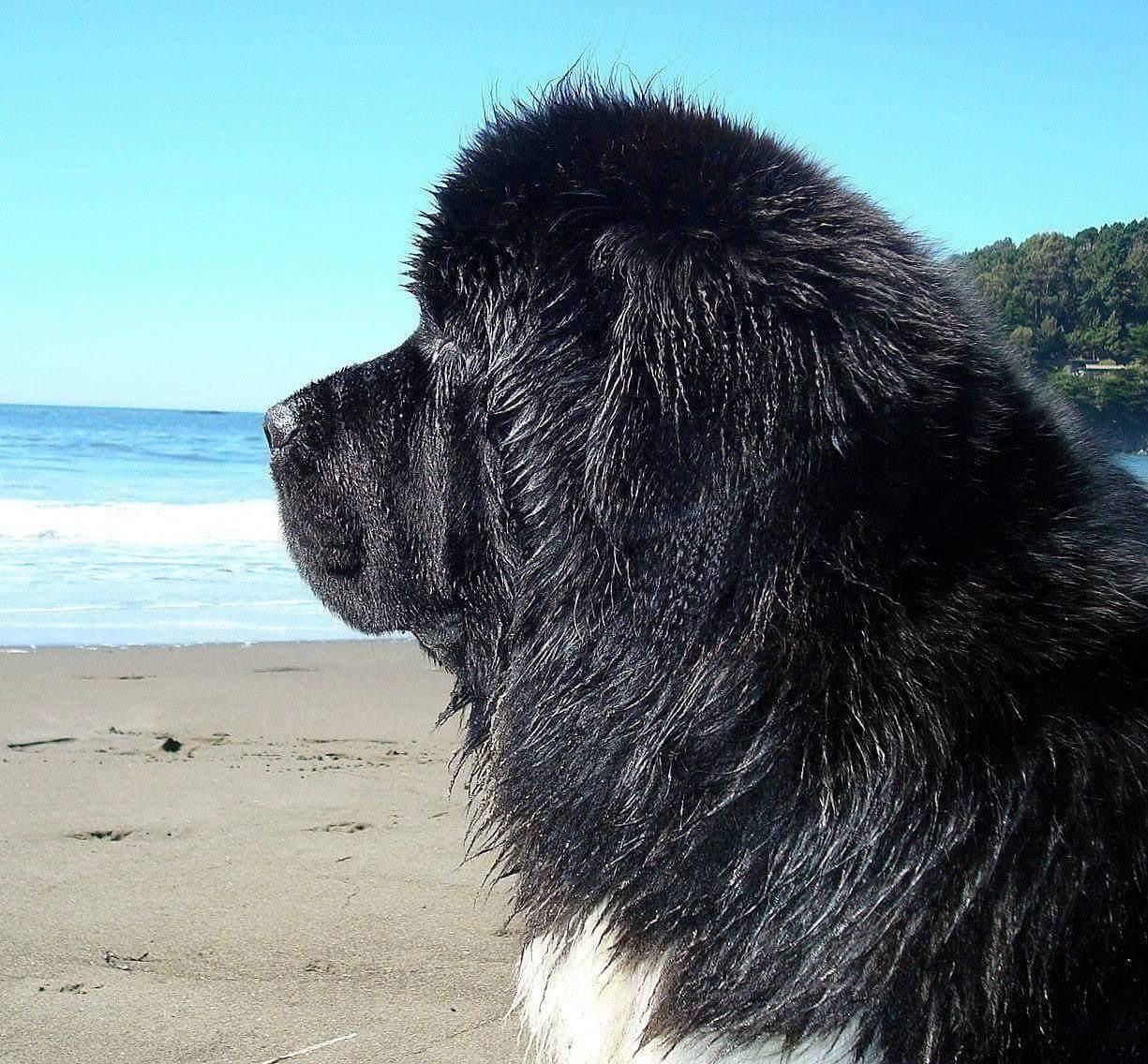 Pin By Kimberly Panagiotou On My Newfies In 2020 Newfoundland Dog Newfoundland Dogs