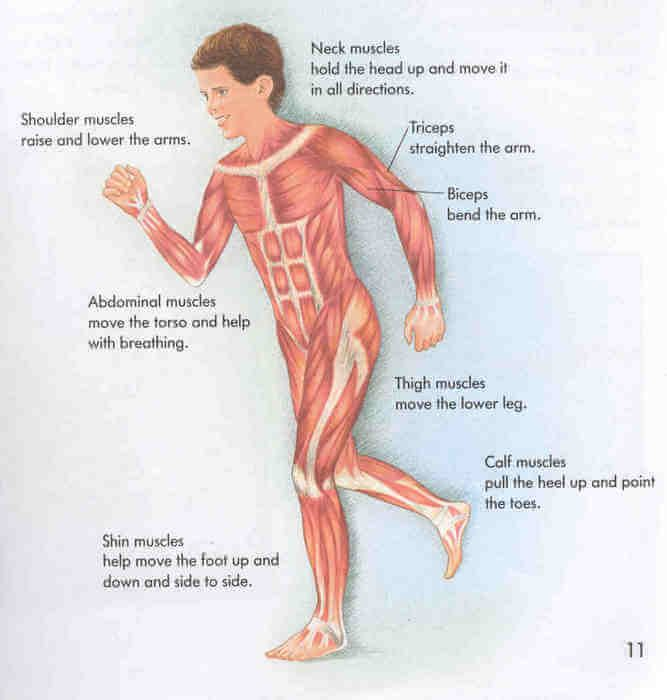 image of the voluntary muscles - learn all about human body, Muscles