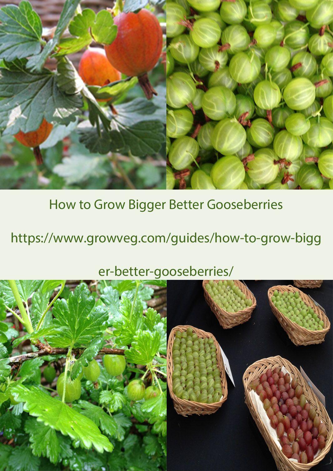 How To Grow Gooseberries of distinction! How to grow bigger, better fruit https://www.growveg.com/guides/how-to-grow-bigger-better-gooseberries/  How to prune gooseberries too https://www.growveg.com/guides/how-to-winter-prune-gooseberries-and-currant-bushes/