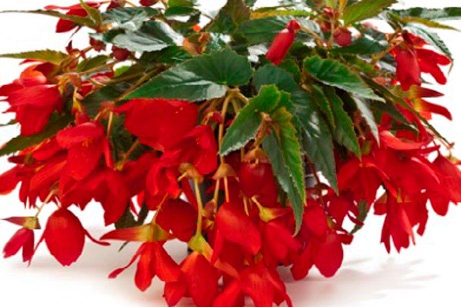 Begonia Water fall 3e prix concours nouvelles variétés 2015. Fleurs comestibles C'est une plante développée spécifiquement pour la culture en contenant, que ce soit en bac, en balconnière ou en panier suspendu. Elle déborde très joliment de son pot, d'autant plus qu'elle est naturellement plus densément feuillue et fleurie que les variétés plus anciennes. À la fin de la saison, déterrez le tubercule enfoui dans le sol et conservez-le au sec à l'intérieur en vue d'une autre saison de…