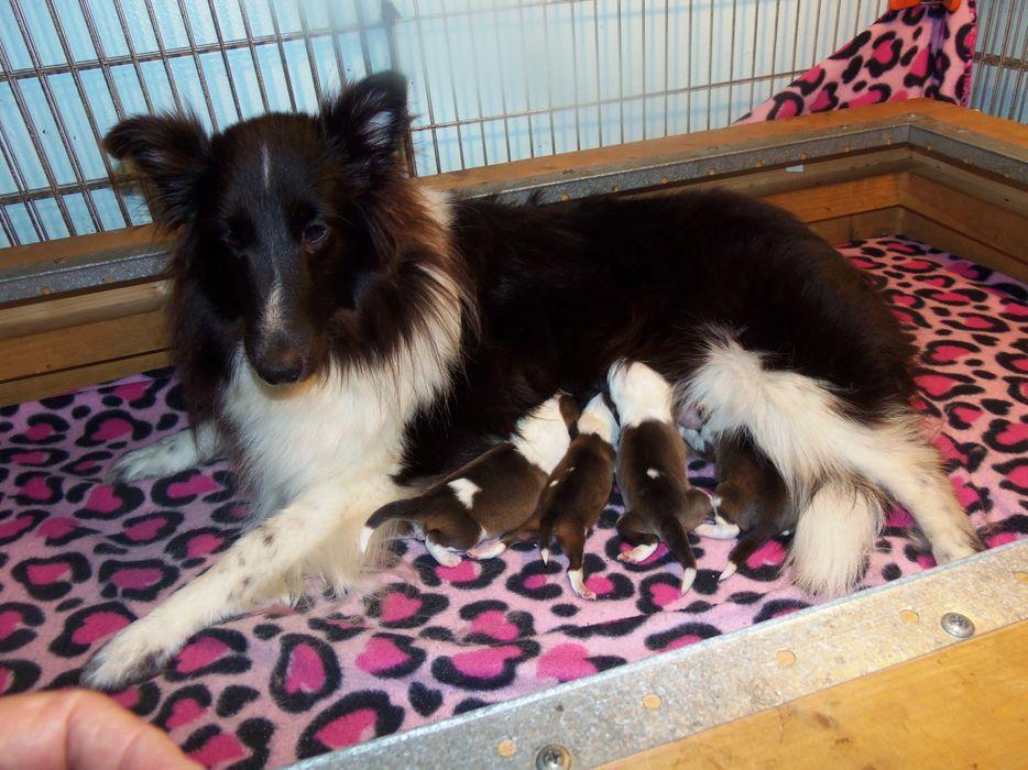 Himark Shelties Sheltie Puppies Shetland Sheepdog Breeder Himark Shelties Sheltie Puppy Sheltie Puppies