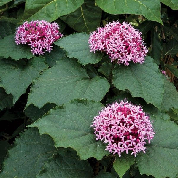 MEXICAN HYDRANGEA (Clerodendrum bungei) aka Rose Glory Bower, Rose ...