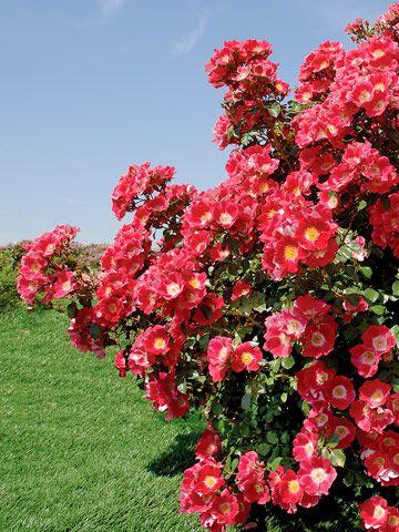 Award Winning Roses For Your Garden Better Homes Gardens Shrub Roses Hybrid Tea Roses Tea Roses