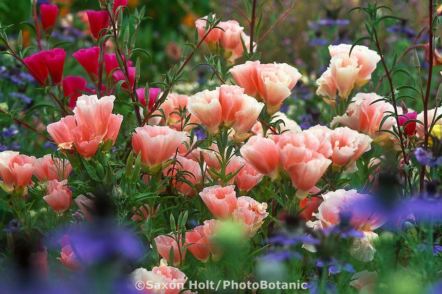 Clarkia annual california native wildflowers spring flowers with clarkia annual california native wildflowers spring flowers with clarkia amoena aurora and mightylinksfo
