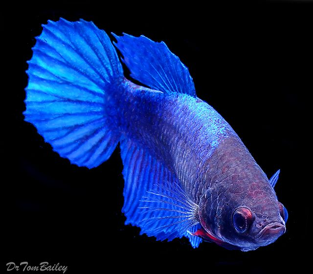 15 list different types of betta fish with pictures for Female betta fish pictures