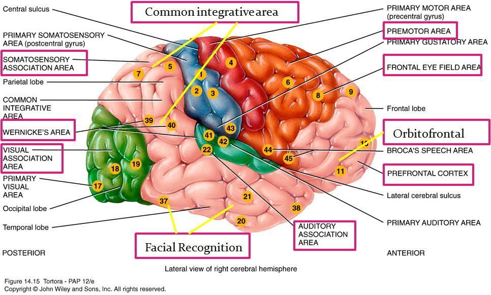 Premotor Area | Neuroscience | Pinterest | Brain and Neuroscience