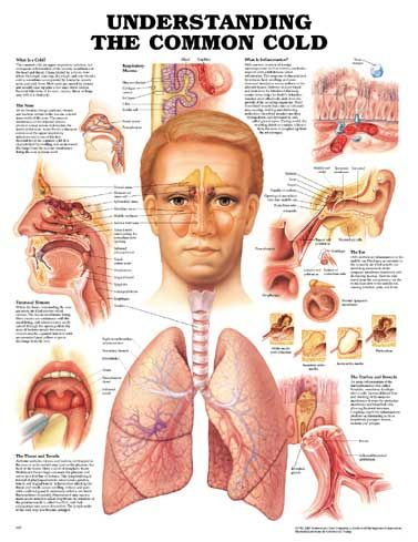 A-9875.jpg (377×489) | ENT ears nose throat | Pinterest
