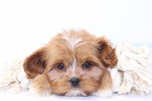 Cavapoo Puppy For Sale In Naples Fl Adn 32969 On Puppyfinder Com