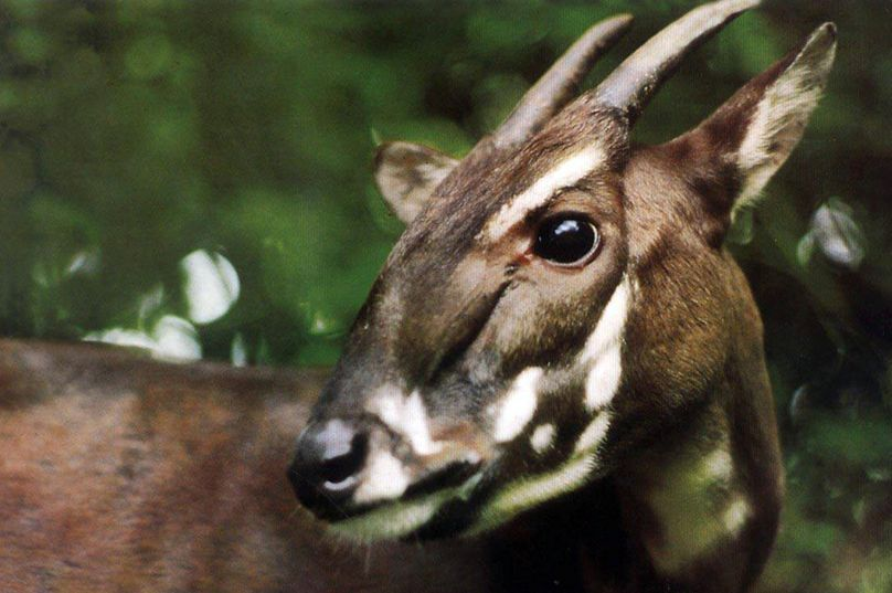 This 1993 photo; released by WWF shows a Saola in Vietnam when it was captured. One of the rarest and most threatened mammals, has been caught on camera in Vietnam for the first time in 15 years in September in central Vietnam, international conservation group WWF said on Nov. 13. (AP Photo/ WWF)  A camera trap in a forest in central Vietnam has managed to snap a photo. The antelope-like, long-horned ox appears to walk through dense foliage at the edge of the camera's range in the image