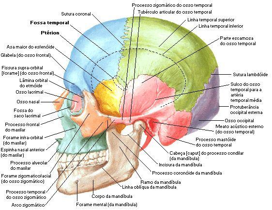 Sistema Sseo Cabe A Cr Nio Como Um Todo Anatomia Do Crânio Humano Crânio Anatomia Anatomia Ossos