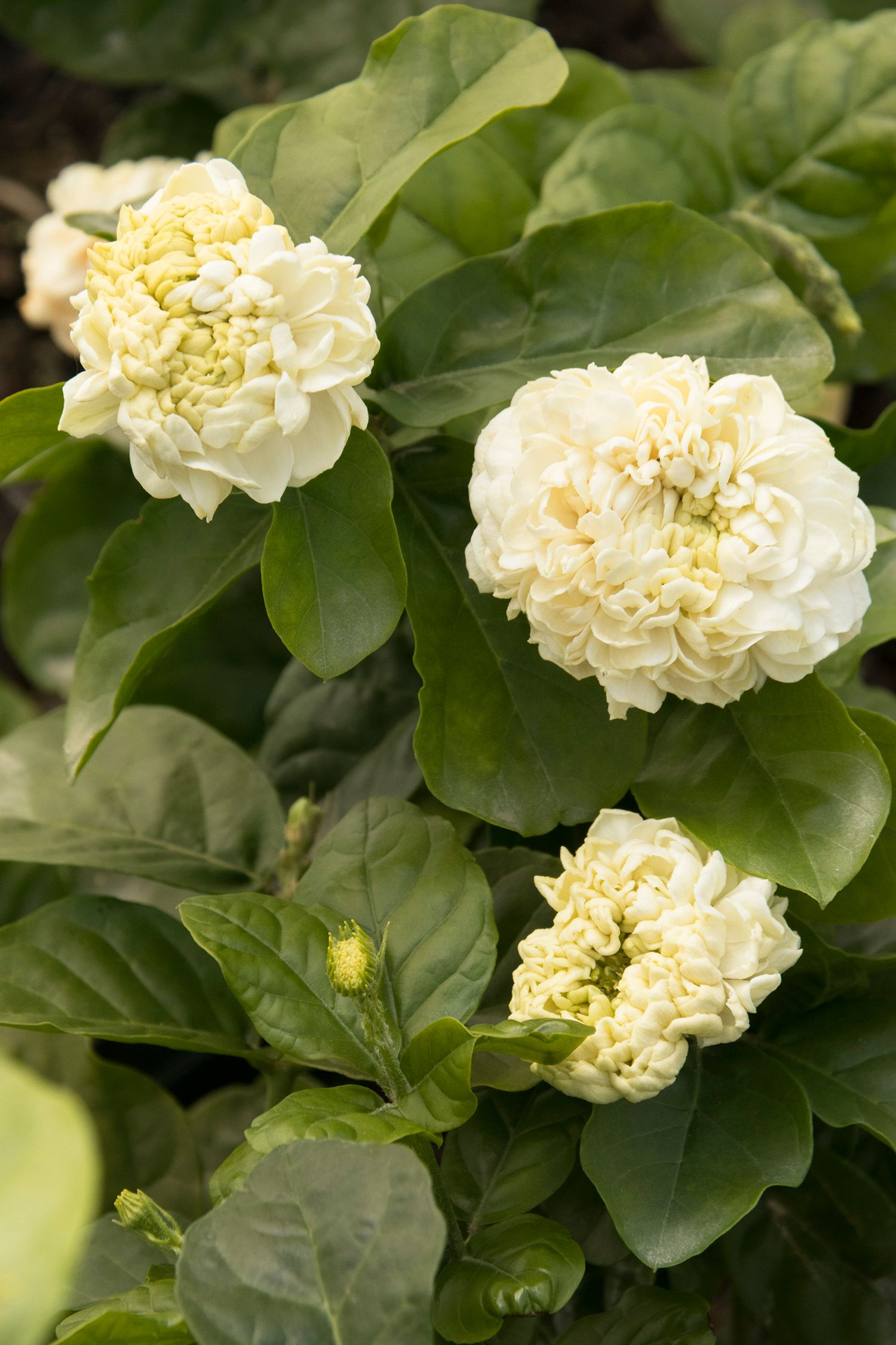 Summer Soul Arabian Jasmines Large Highly Scented Fully Double