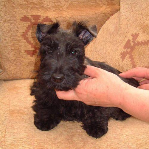 Scottish Terrier Dog Breed Puppies Scottie Puppies Scottish Terrier Puppy Terrier Dog Breeds