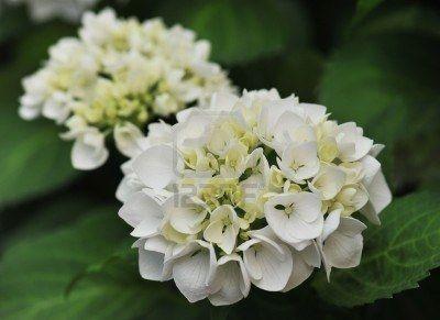 Bloesem van witte hortensia hortensia in een tuin witte