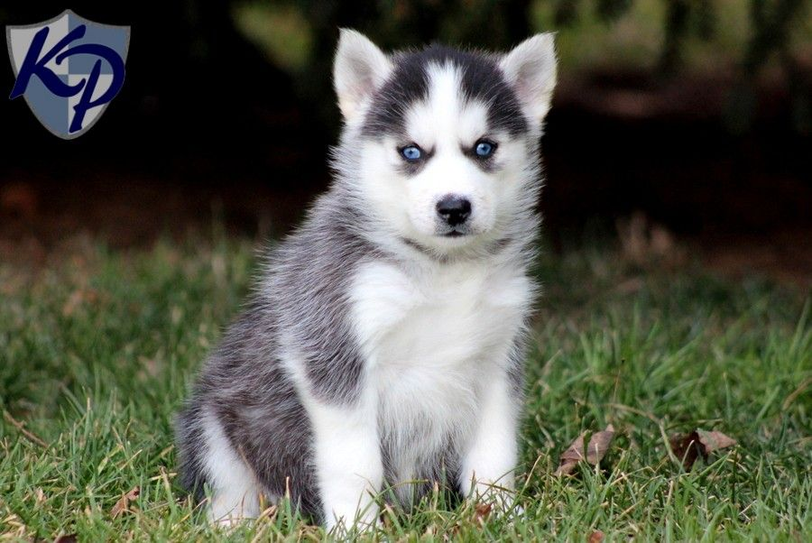 Pomskis A Pomeranian Husky Mix Husky Puppy Puppies