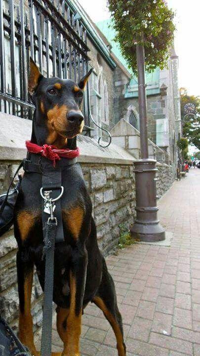 Doberman Beautiful Dog Breeds Doberman Pinscher Dog Doberman Pincher Dog