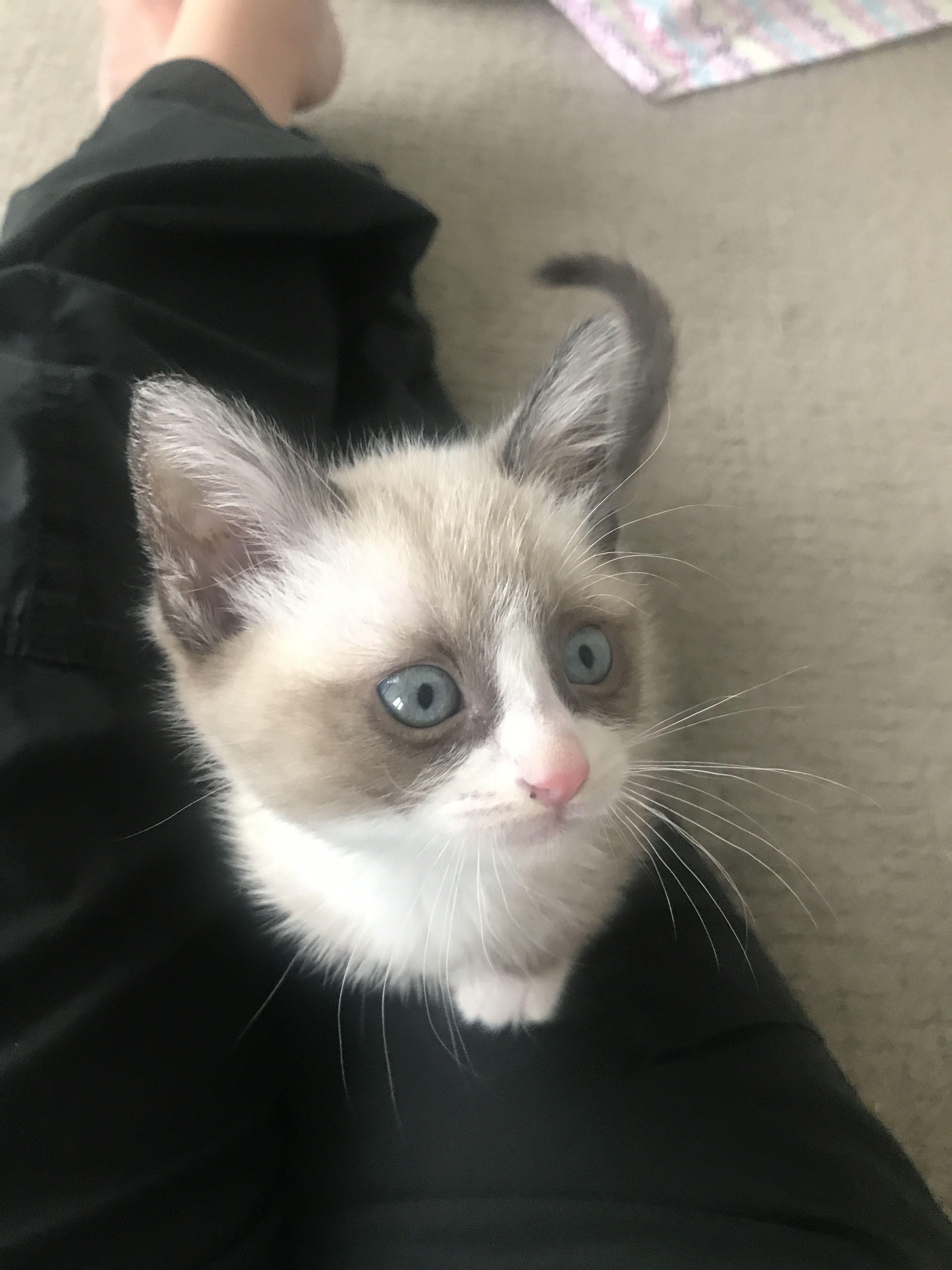 "Snowshoe kitten ""Birch"" Birch the Snowshoe Cat Pinterest"