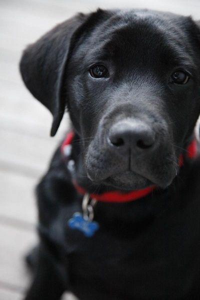 Cool Lab Black Adorable Dog - 6717c90678093b53ed6d4af465ea7770  Collection_944179  .jpg