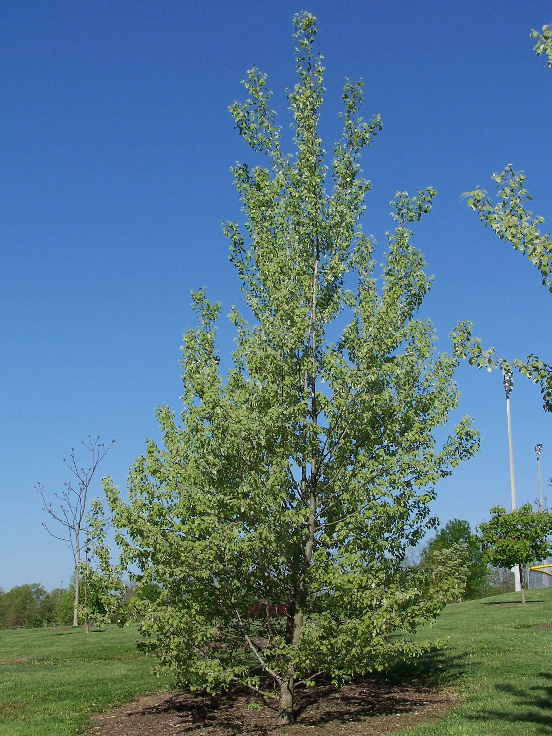 SABRE BIGTOOTH ASPEN ~ A hardy oval tree with purple-red foliage in ...