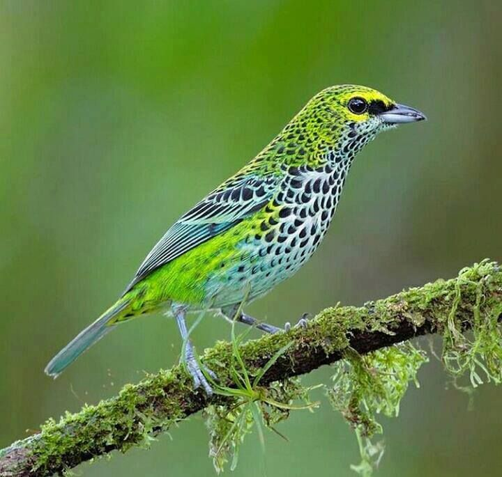Speckled Tanager (Tangara guttata) in Costa Rica by Juan Carlos Vindas.