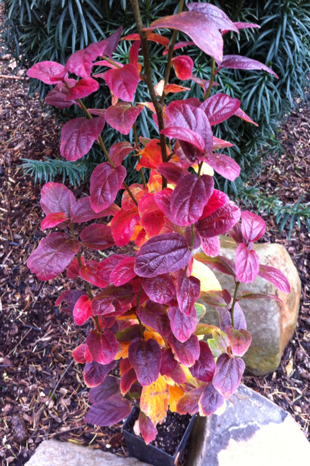 Persian Spire Upright Columnar Parrotia Has Fall Color Galore Plants Columnar Trees Front Landscaping