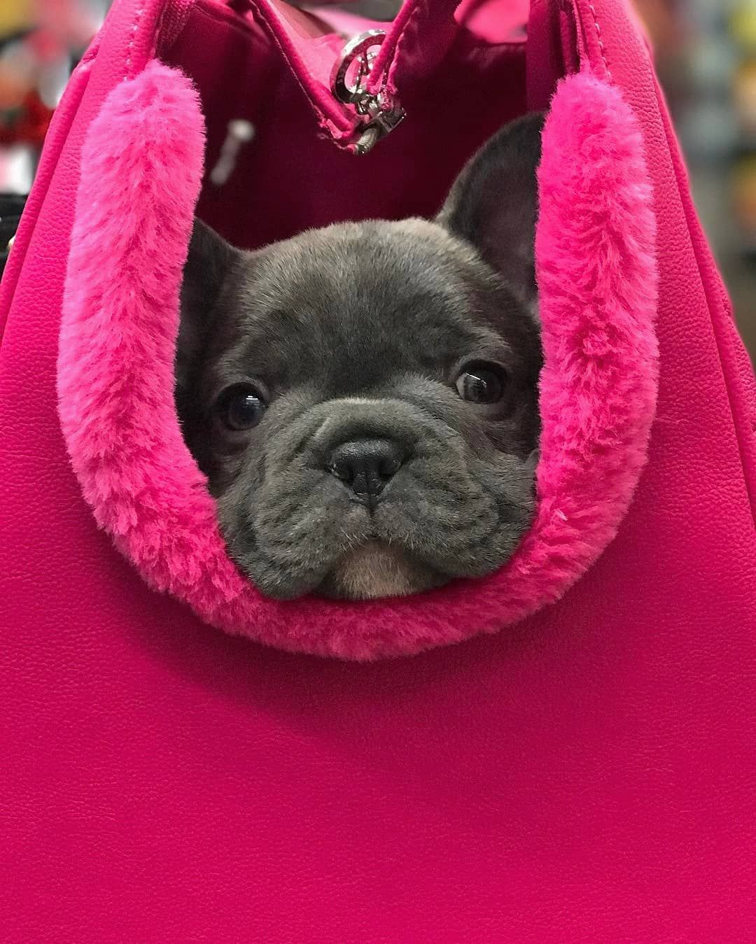 K E N A Bronsonthebluefrenchie French Bulldog Puppies Cute