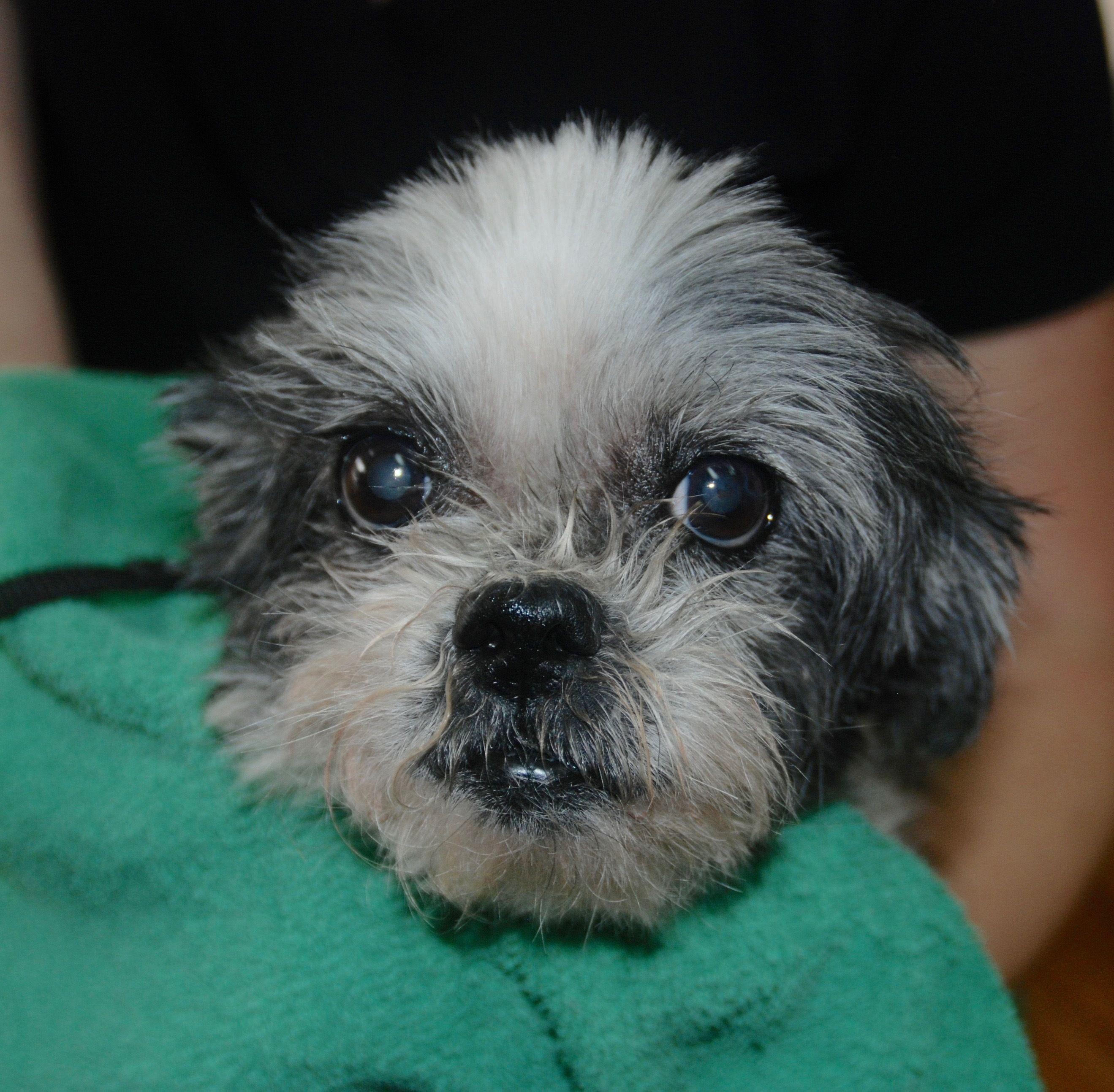 Adopt Schatzi On Rescue Me Dogs Shih Tzu Pets