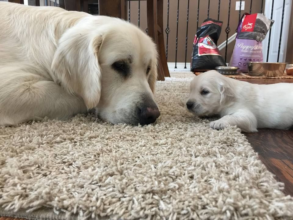 Like father, like son.... (With images) Retriever puppy