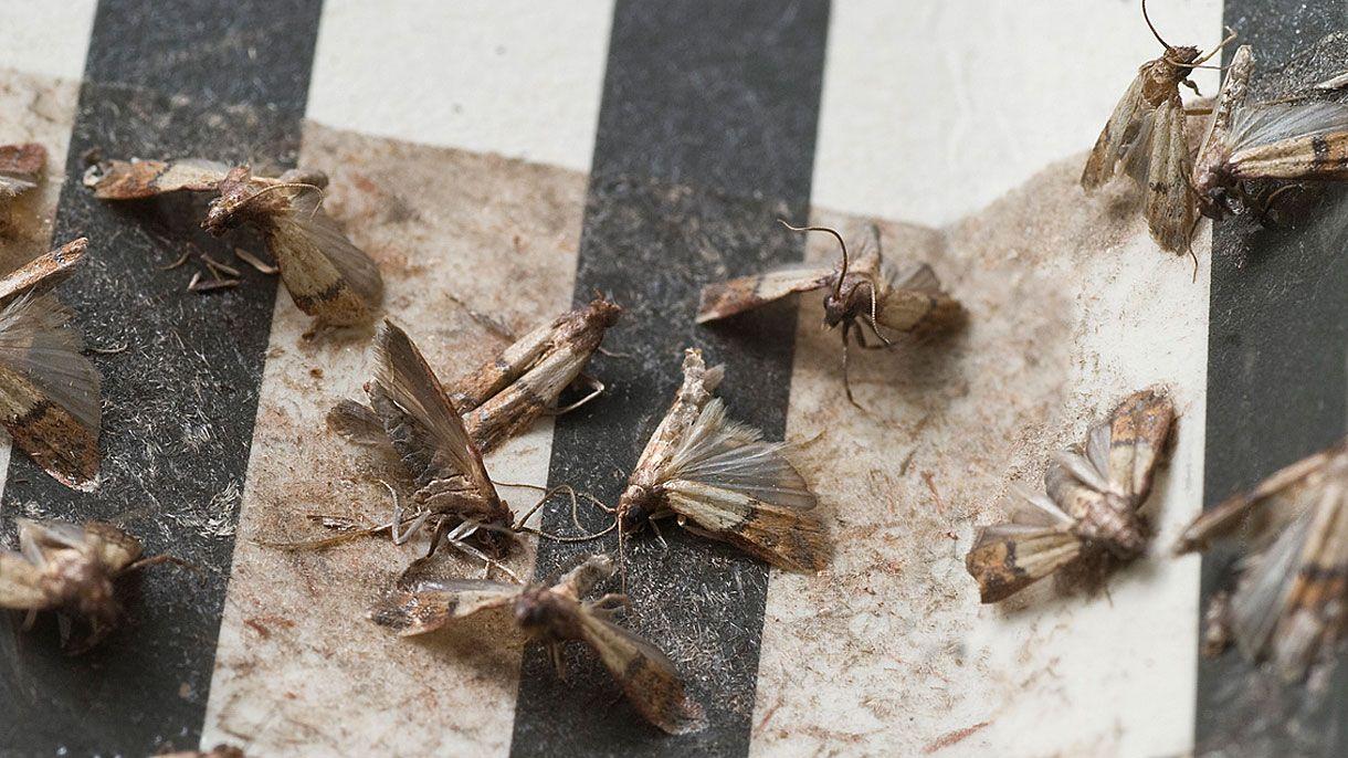 Lebensmittelmotten Bekampfen Diese Hausmittel Helfen Sofort Lebensmittelmotten Motten In Der Kuche Und Hausmittel