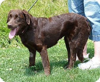Zanesville Oh Chesapeake Bay Retriever Irish Setter Mix Meet 38614 Karley See Updated Notes A Dog For Adoption Kitten Adoption Dog Adoption Retriever Mix