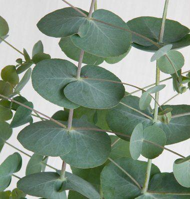 Flower Eucalyptus Silver Dollar D1509a Green 25 Seeds By David S Garden Seeds David S Garden Seeds Jacobs Ladder Plant Garden Seeds Silver Dollar Eucalyptus