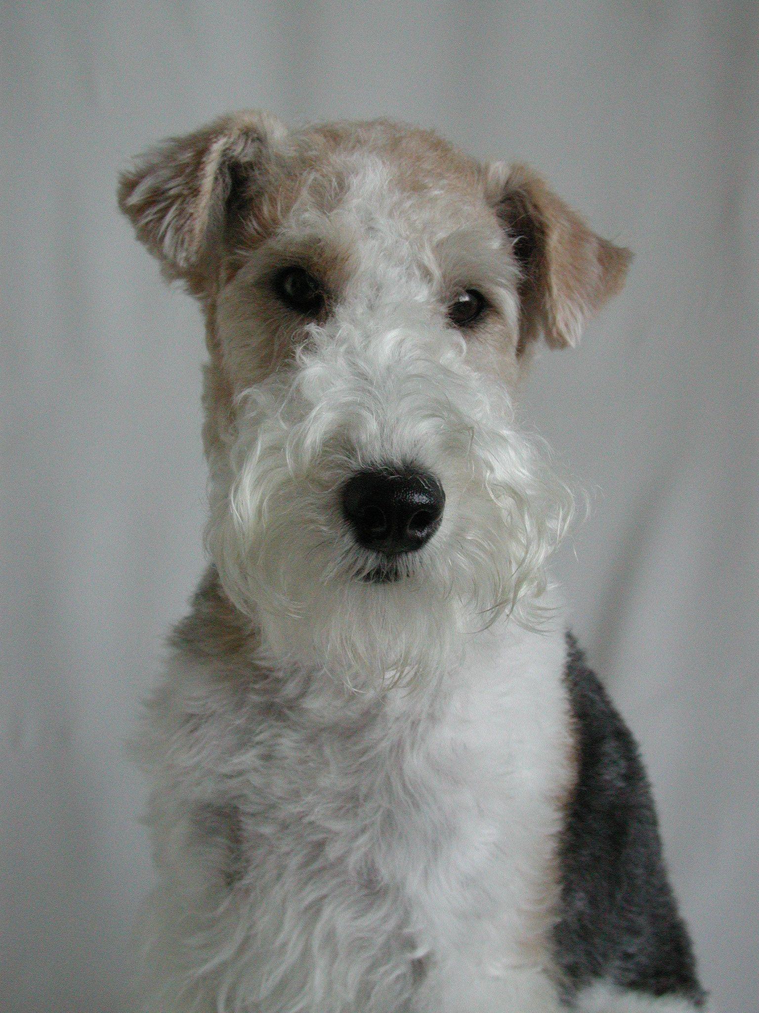 wire fox terrier | Dog! | Pinterest | Füchse, Wire Fox Terrier und ...