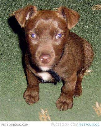 Patterdale Terrier Brown Google Search Patterdale Terrier Puppy Patterdale Terrier Cute Animals
