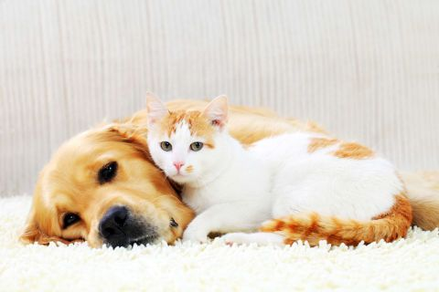 15 Things You Didn T Know About Golden Retrievers Introducing Kitten To Dog Introducing A New Cat Dog Cat
