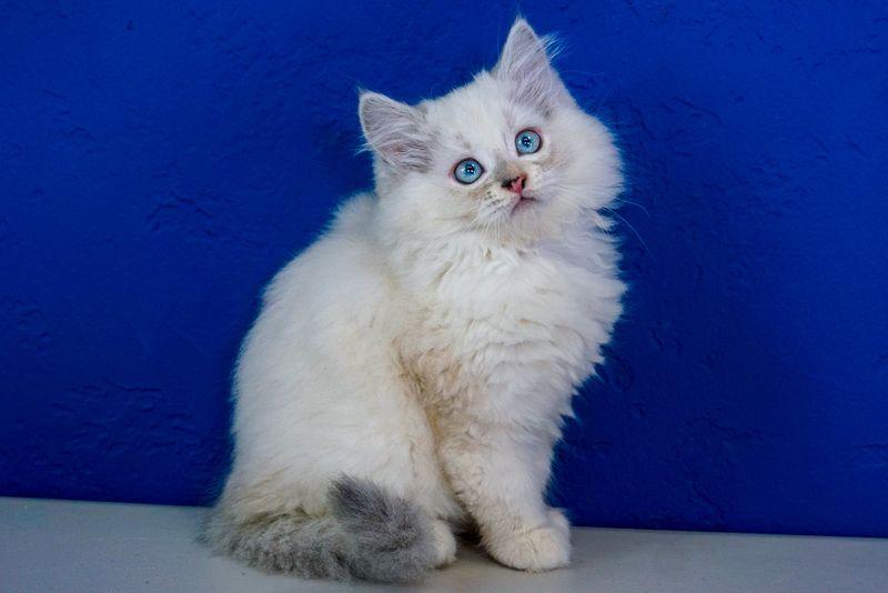 Ragdoll Kittens For Sale Near Me  Buy Ragdoll Kitten -4883