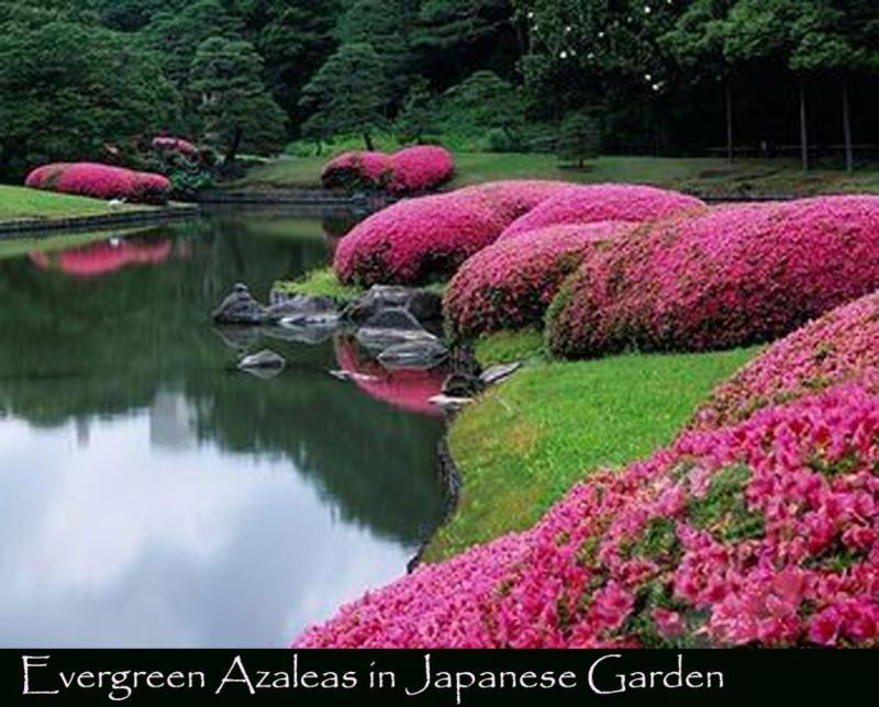 Evergreen Azaleas In 2020 Japanese Garden Azaleas Garden Japan Garden